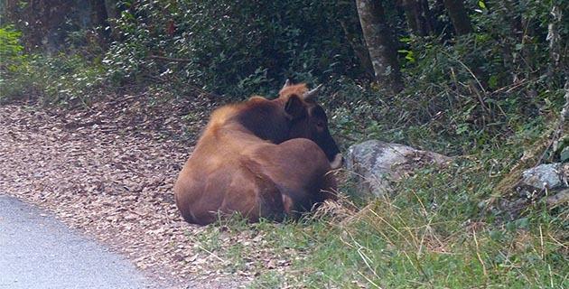 Sorbo-Ocagnano : Le… taureau sauvé par les pompiers