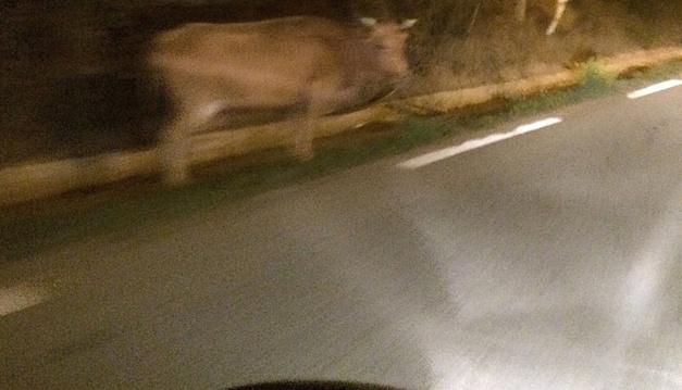 Les vaches sont toujours sur les routes de Corse…