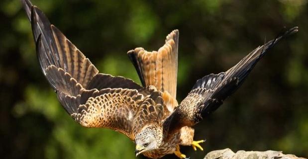 Oiseaux de Corse. (http://oiseauxdecorse.fr/)
