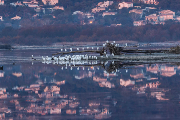 Photos René Roger (www.oiseauxdecorse.fr)