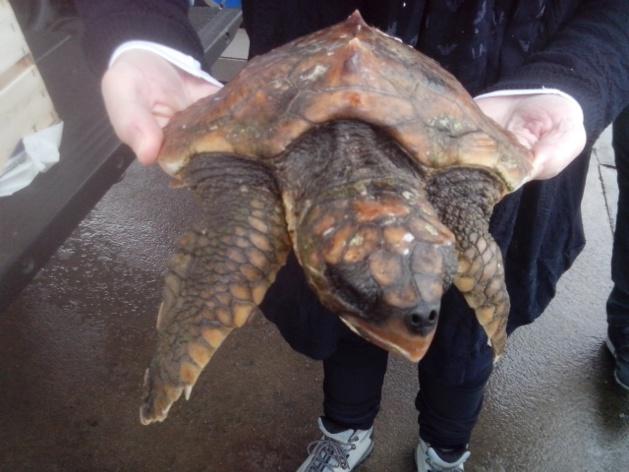 Belle chaîne de solidarité pour sauver une tortue marine en difficulté à L'Ile-Rousse