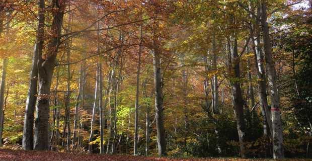 La forêt de Vizzavona au coeur du Parc naturel régional de Corse.