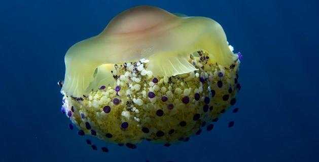 """Bastia : A la rencontre de la méduse """"œuf au plat"""""""