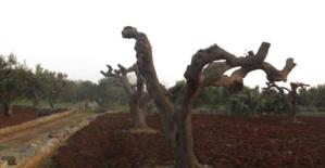 Un champ d'oliviers des Pouilles ravagé par la xylella fastidiosa.