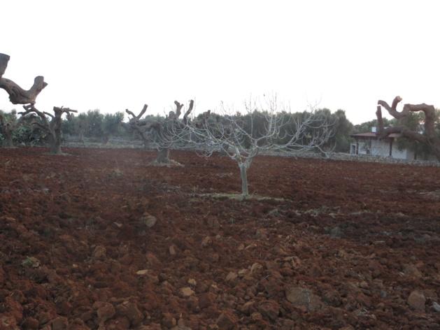 Les oliveraies des Pouilles italiennes ravagées par la xylella fastidiosa.