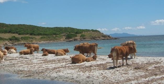 Six vaches en divagation abattues en 3 jours à Galeria !