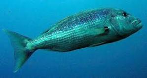 Pêcheurs et plaisanciers de Calvi et l'Ile-Rousse s'engagent pour la sauvegarde du Denti en Balagne
