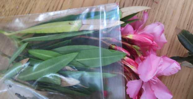 Les oléiculteurs dénoncent la propagation de la bactérie sur divers plantes en Corse, dont le laurier rose.