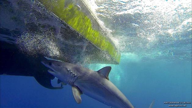 Rencontre inédite avec un requin mako devant Bastia…