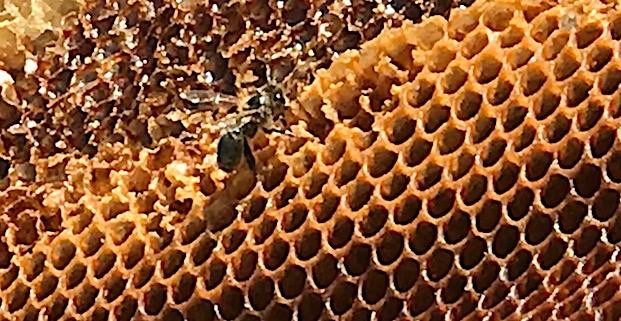 Miel de Corse :  Un début de saison qui redonne le sourire aux apiculteurs