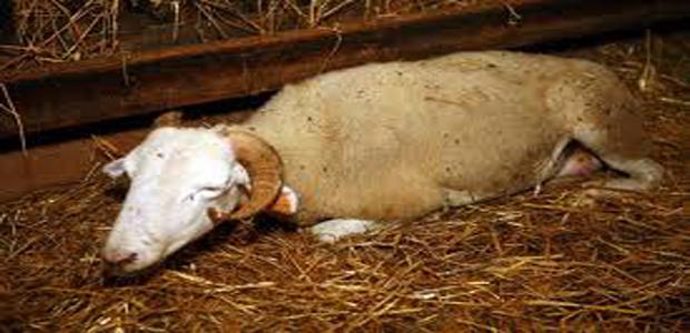 Deux cas de fièvre catarrhale ovine détectés en Haute-Corse