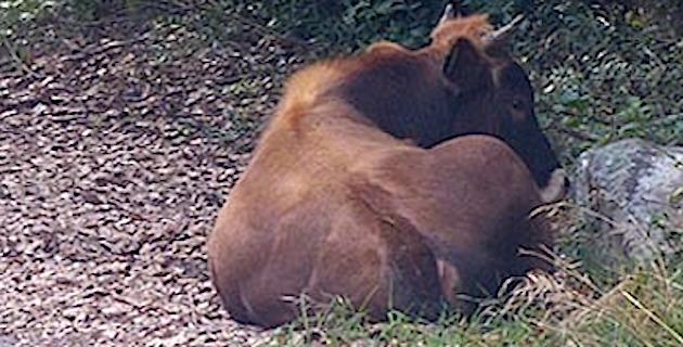 Sécheresse : Difficulté d'abreuvement du bétail en Corse-du-Sud