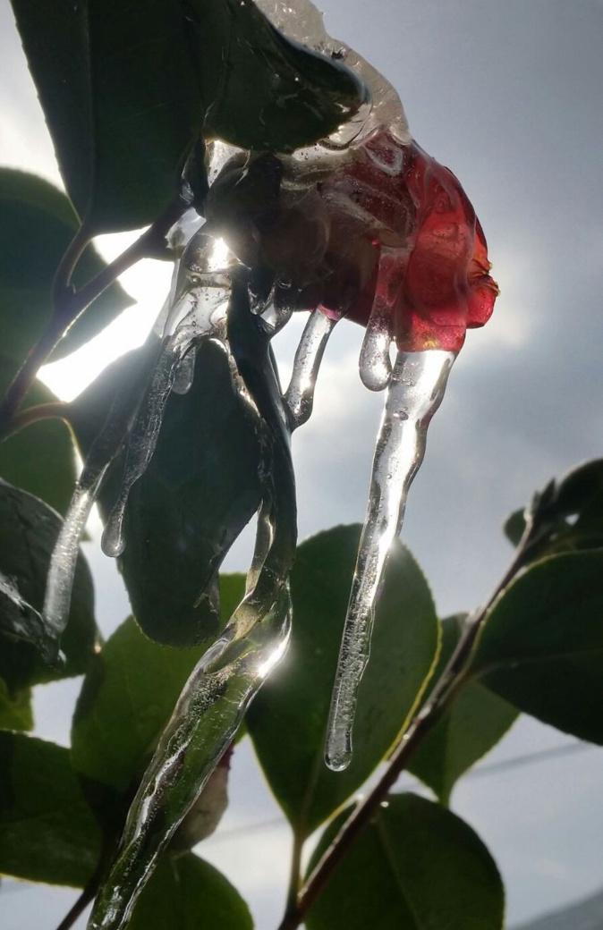 La photo du jour : Camélia aux stalactites à Silgaghja
