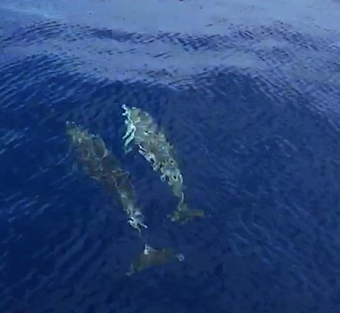 Le ballet des dauphins entre Calvi et Scandola