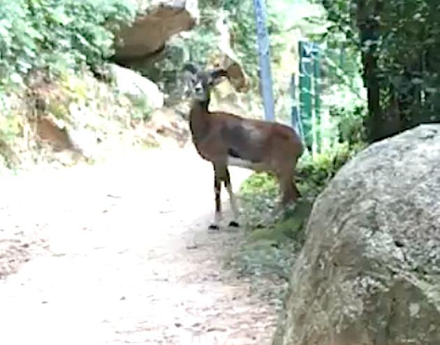 Forêt de Bonifatu : Emouvante rencontre avec un mouflon