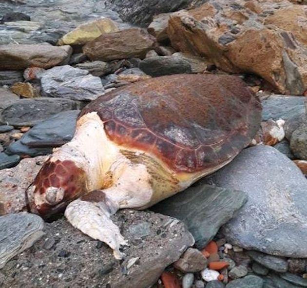 Centuri : La mort de la tortue de mer