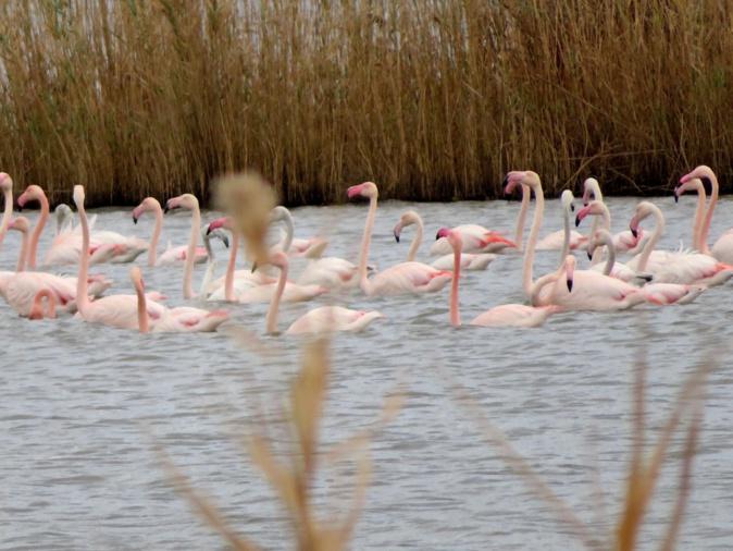 La photo du jour : La grâce des flamants roses de l'étang de Chjurlinu