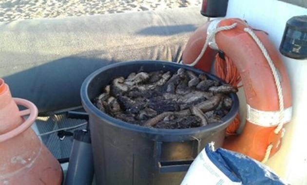 Braconnage en Corse-du-Sud : 200kg de concombres de mer pêchés illégalement