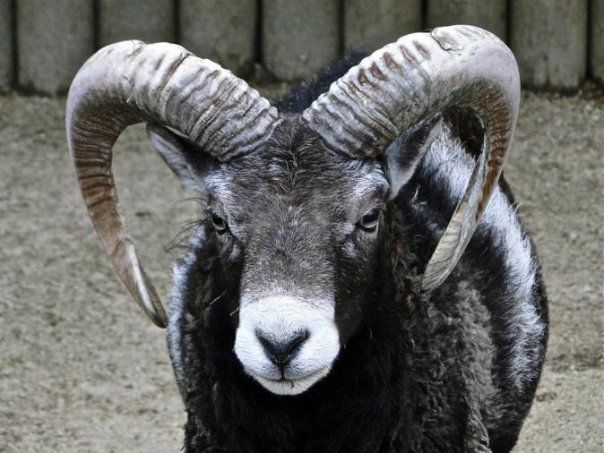 Le mouflon corse, une espèce à protéger