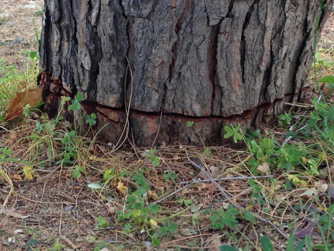 Ajaccio : Le pin tronçonné…