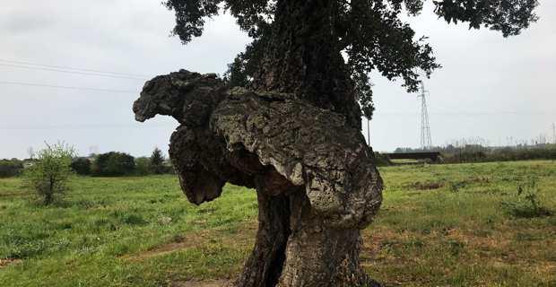 """L'Arburacellu, l'arbre-oiseau de Ghisunaccia a reçu le label """"Arbre remarquable"""" de l'année."""