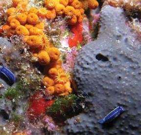 Algues, crustacés et mollusques cibles des chercheurs sous-marins