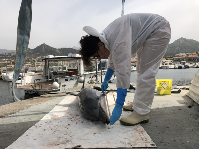 Un dauphin meurt dans le port de Lisula
