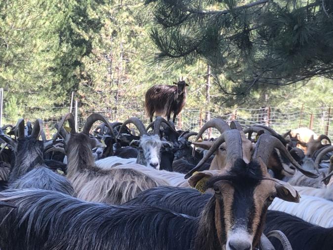 VIDÉO - Muntagnera, l'altu viaghju per i pastori