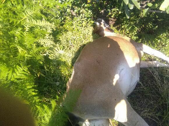 Olmeta-di-Capicorsu : Deux vaches tuées par balles