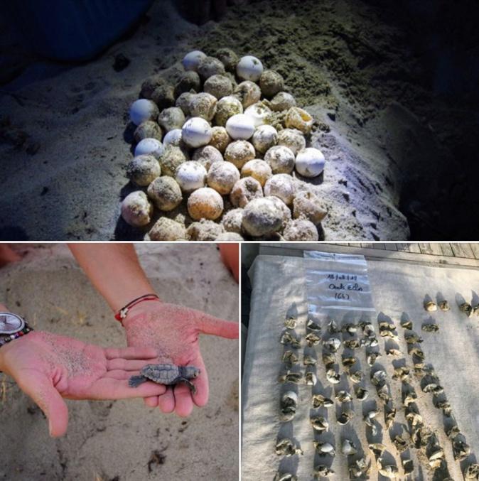 """Des tortues marines """"Caretta Caretta"""" naissent sur une plage de la Plaine orientale  :""""Prévenez-nous"""""""
