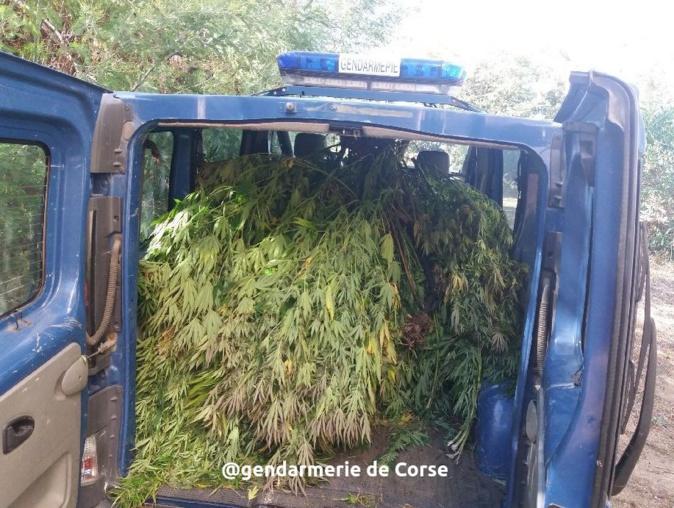 Corse du Sud : 254 pieds et 350 branches de cannabis saisis par les gendarmes
