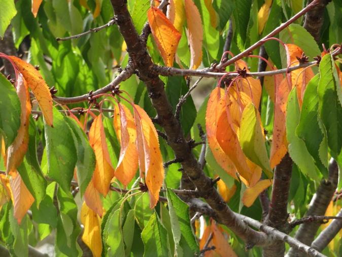 Automne dans les cerisiers, photo de Françoise Geronimi