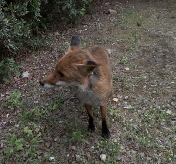 Un premier renard qui rendait visite chaque soir à une touriste italienne en vacance sur le cordon lagunaire
