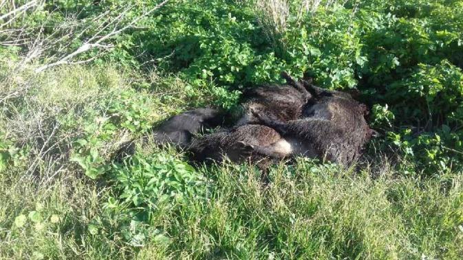 Bastia : des cadavres de sangliers à A Rinella