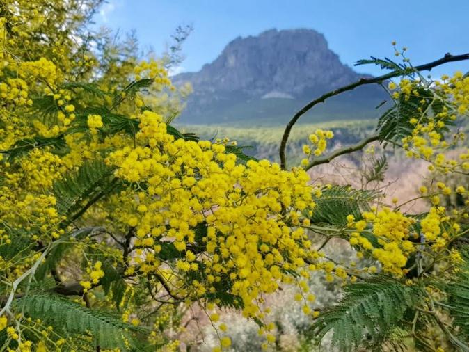 La photo du jour : les premiers mimosas de  de Silgaghja