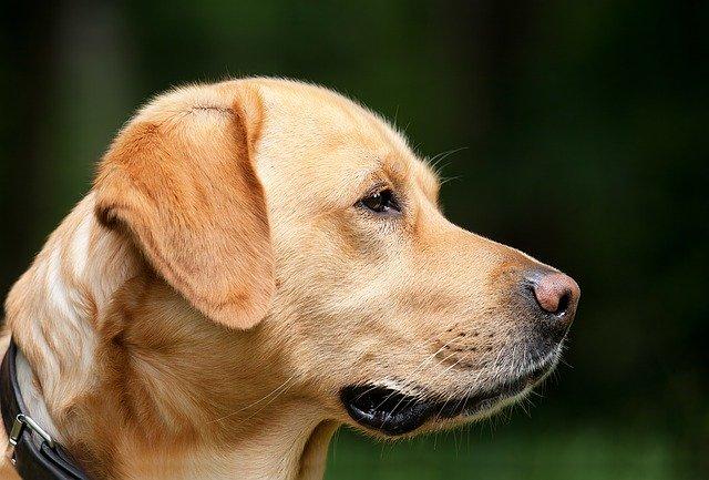 La leishmaniose en constante progression en Corse : moins de 50% des chiens sont vaccinés