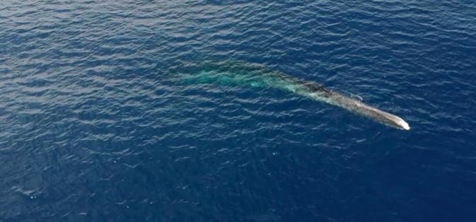 VIDEO - Sanctuaire Pelagos : Une baleine blessée par l'homme est à l'agonie