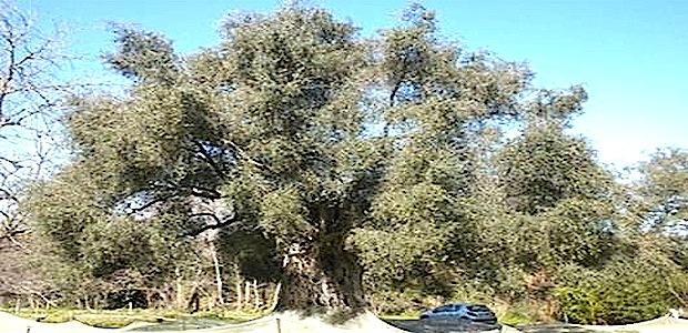 Arbre de l 39 ann e 2013 l 39 olivier d 39 oletta deuxi me - Psylle de l olivier ...