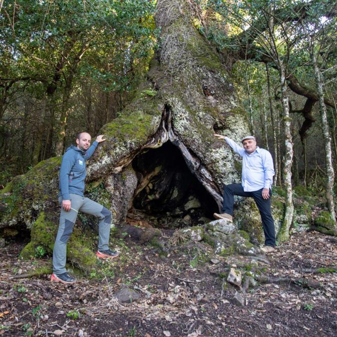 Votez pour l'arbre de l'année : U Liccionu di Matachjina d'Arghjusta è Muricciu