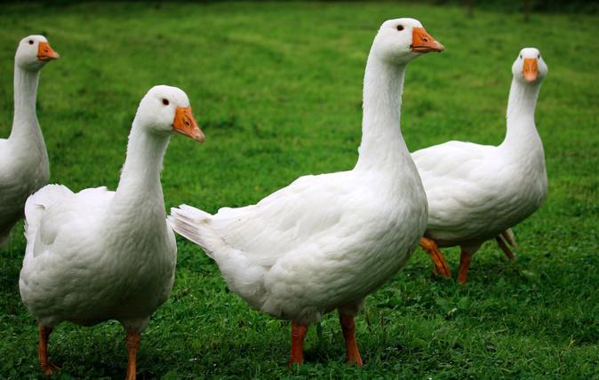 Grippe aviaire : des cas détectés en Corse-du-Sud