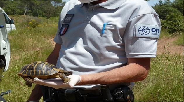 La tortue d'Hermann fait l'objet d'une surveillance particulière par les agents de l'OFB en Corse.
