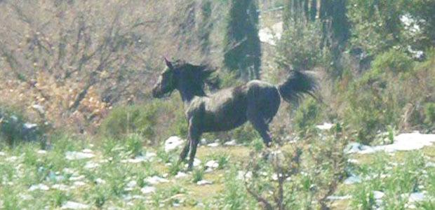 Cavallu corsu : Les étalons agréés