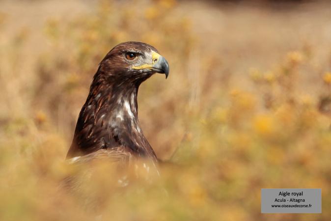 Le monde des oiseaux de Corse expliqué aux enfants