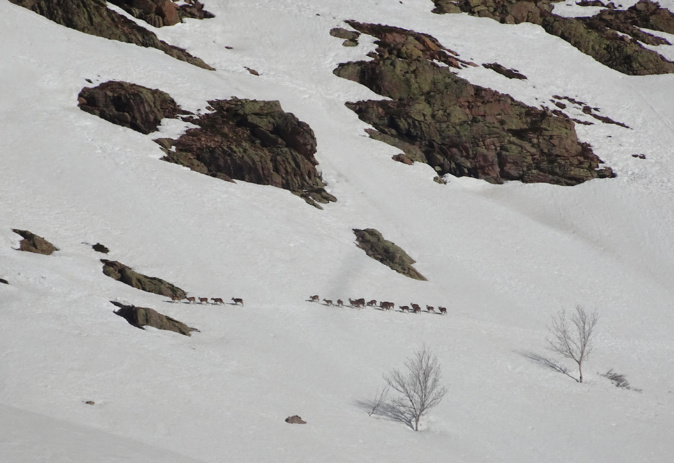 La photo du jour : les mouflons courent sur la montagne corse