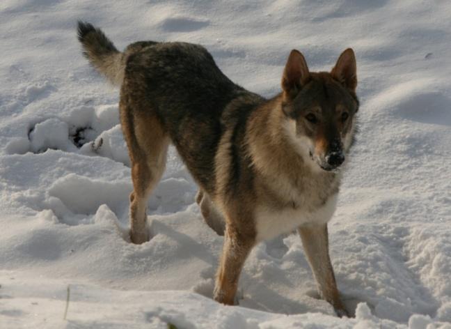 Qui a vu le chien-loup ?