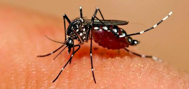 """""""Aedes albopictus"""", plus communément nommé moustique tigre, a peu à peu colonisé la Corse. (Photo : DR)"""