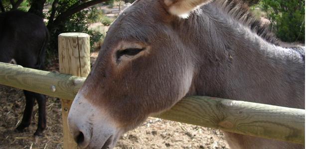Une pétition pour sauver l'âne de Cartalavone