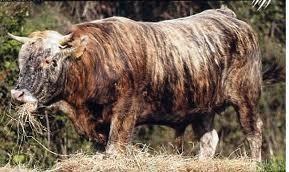La vache tigrée corse élevée en agriculture biologique