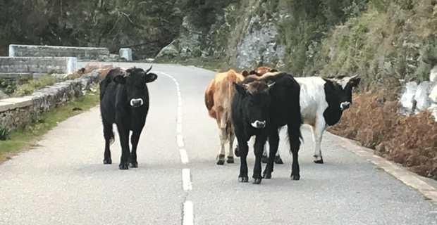 """La divagation animale est considérée par l'association des maires de Haute-Corse comme """"un fléau"""". (Image d'archives CNI)"""