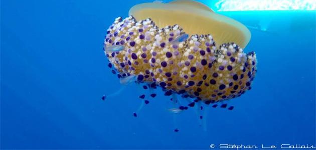 L'image du jour :  Une méduse œuf au plat